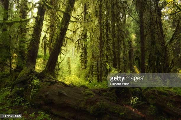 temperate rainforest of the olympic peninsula in washington - america del nord foto e immagini stock
