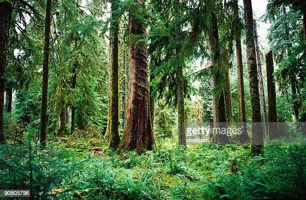 Temperate Rainforest, Olympic National Park, Washington, USA