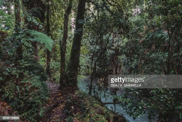 Temperate rainforest, Villarica, Conguillio National Park, Araucania, Chile.