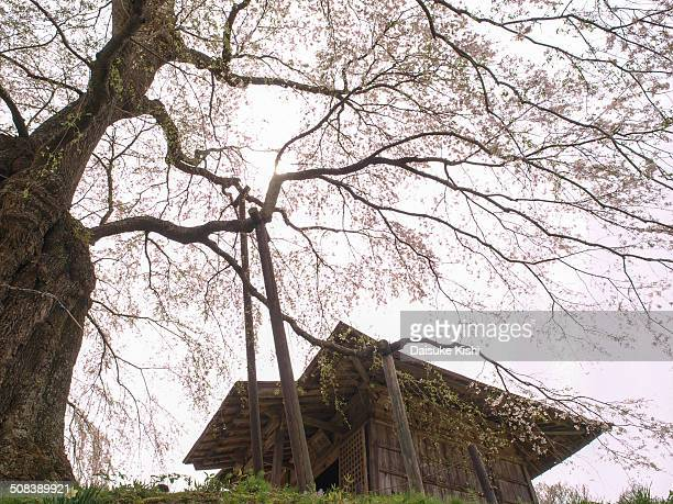 Temple and cherry tree in Fukushima prefecture. The age of the tree is regarded as approximately 350 years old. The temple is dedicated to Acala, and...