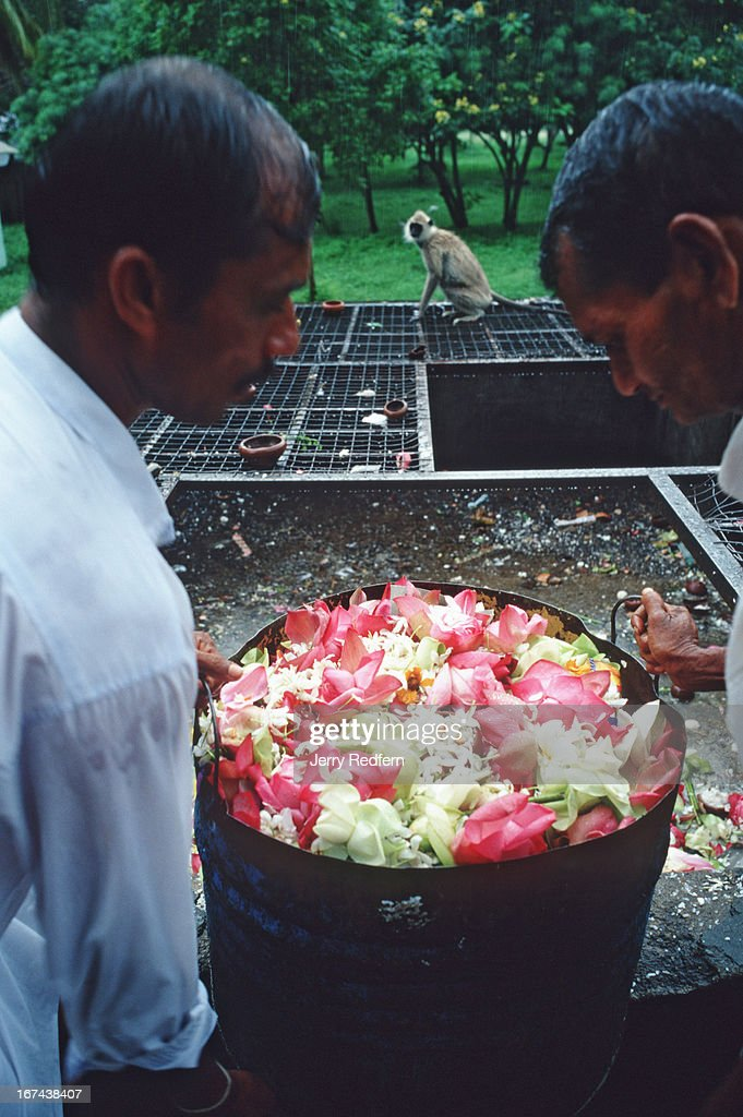 Temple workers dump a load of flowers in a garbage tip. A family of Ceylon Grey Langurs (Latin name: Semnopithecus priam thersites) then eats the flower and rice offerings left by pilgrims to the, Sri Maha Bodhi, or Holy Bodhi Tree. The surrounding grounds are home to several families of langurs who live off of the holy offerings left behind. The tree has grown from a clipping of the original Bodhi tree under which the Buddha gained enlightenment in India more than 2,500 years ago. The clipping was brought to Sri Lanka more than 2,000 years ago, and is reportedly the oldest continuously documented plant on Earth. The site is one of the holiest Buddhist places in Sri Lanka..