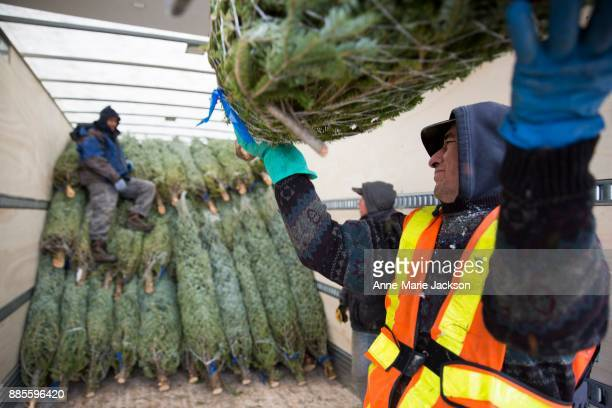 A temporary worker loads Christmas trees into a truck at Somerville Nurseries Inc in Alliston Ontario The company run by president Fred Somerville is...