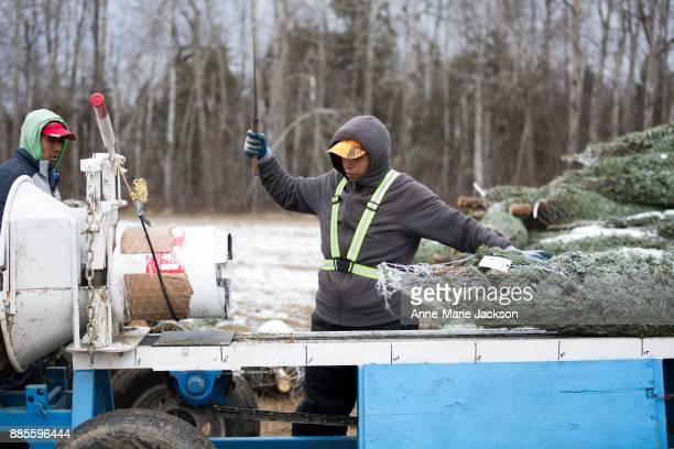 A temporary worker sits on a pile of Christmas trees at Somerville Nurseries Inc in Alliston Ontario The company run by president Fred Somerville is...