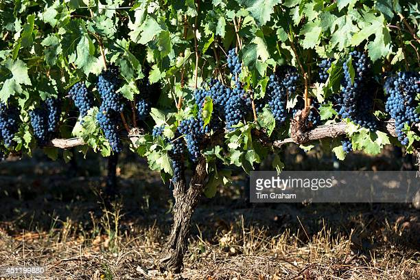 Tempranilla black grapes for Rioja red wine in vineyard in RiojaAlavesa area of Basque country Spain