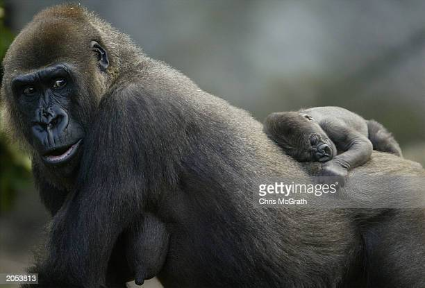 Ten day old male Gorilla 'Fataki' clings to his mother 'Frala' during his media debut at Taronga Zoo June 4 2003 in Sydney Australia Fataki was born...