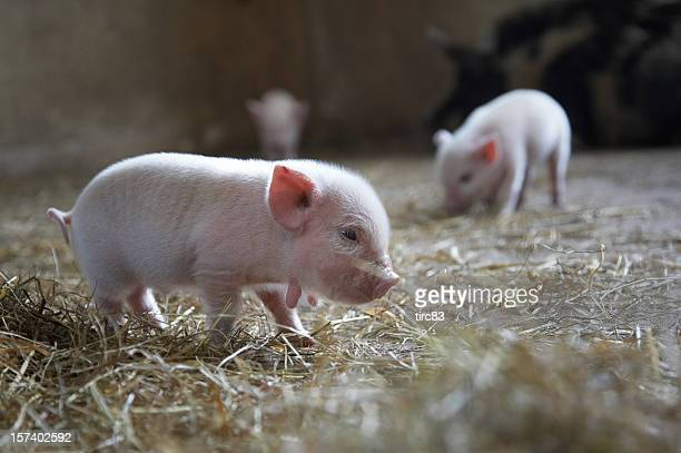 Ten day old piglets