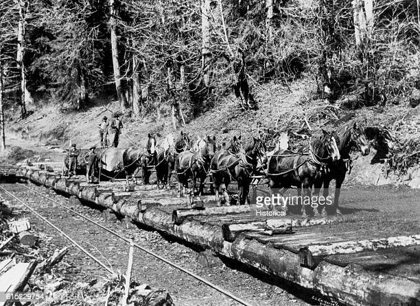 Ten horses yoked in teams drag a massive log away from its logging site in the Douglas fir forests of Washington state The loggers have laid a log...