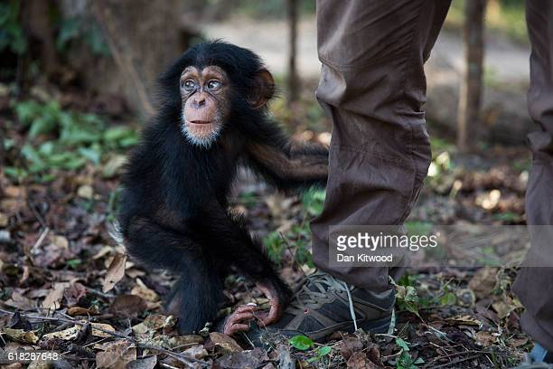 Ten month old Soumba is left alone momentarily for the first time since her recent arrival at the Chimpanzee Conservation Centre on December 03 2015...
