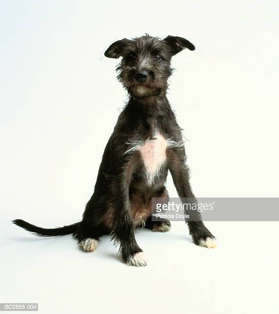 ten week old mongrel puppy, sitting, white background - mixed breed dog stock pictures, royalty-free photos & images