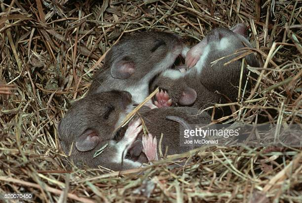 Ten-Day-Old Deer Mice in Nest