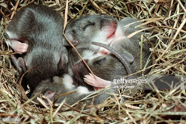 ten-day-old deer mice in nest - hjortmus bildbanksfoton och bilder