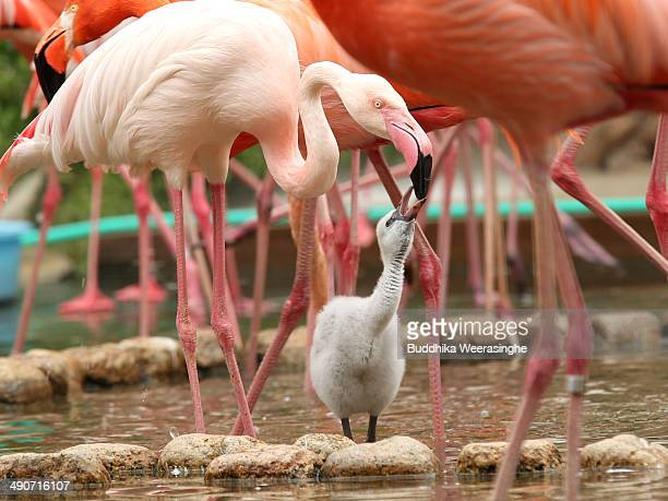 A tendayold European flamingo chick is fed by its parent at the Oji Zoo on May 15 2014 in Kobe Japan These chicks of European greater flamingo were...