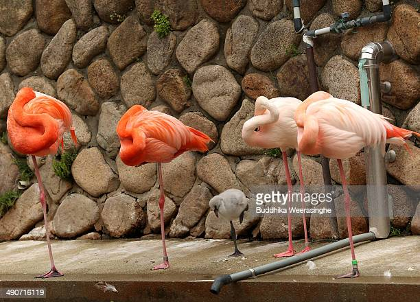A tendayold European flamingo chick is seen at the Oji Zoo on May 15 2014 in Kobe Japan These chicks of European greater flamingo were born on April...