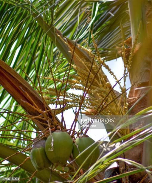 Tender coconuts and coconut blossoms/Kerala