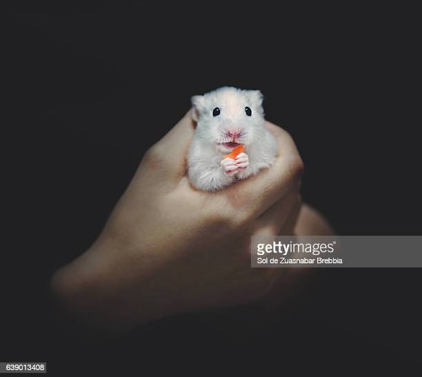 Tender hamster held in the hands of a child on a black background