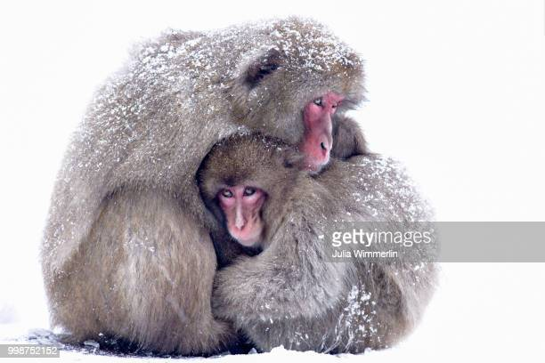 tender love - primate stock pictures, royalty-free photos & images