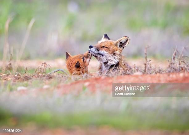 tender moment - animal behavior stock pictures, royalty-free photos & images