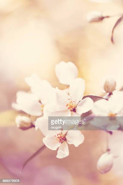 tender pink apple flowers, bloom