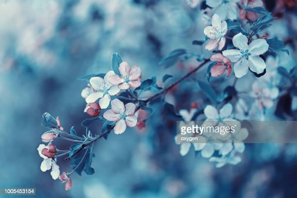 tender pink apple tree flowers tree blooming - apple blossom tree stock pictures, royalty-free photos & images