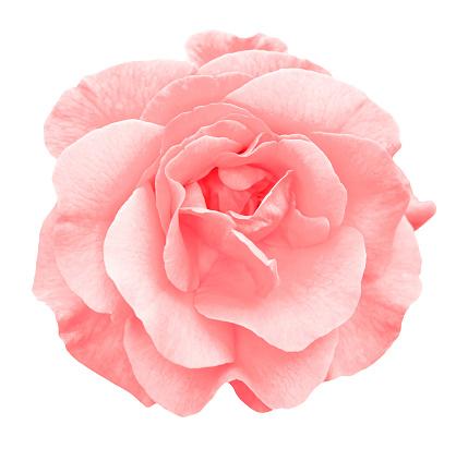 Tender red rose flower macro isolated on white 912201442