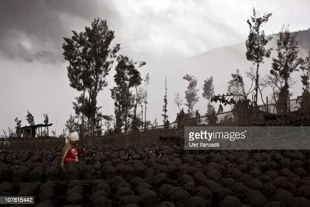 Tenggerese cleans the strawberry plants covered by ash as volcanic material from Mount Bromo continues to spread on December 27 2010 in Probolinggo...