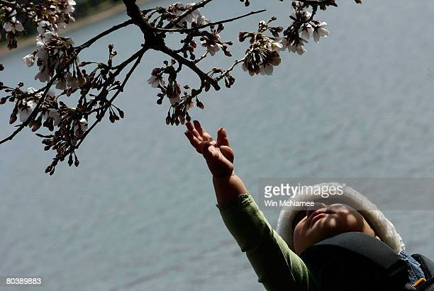 Tenmonthold Serena Growney reaches out to touch a newly emerged cherry blossom while touring the Japanese Cherry Blossoms with her father and...