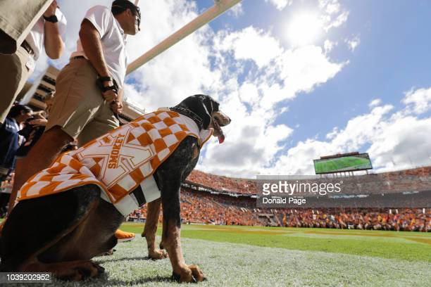 Tennessee Volunteers live mascot Smokey X preparing to lead the team out during the game between the UTEP Miners and Tennessee Volunteers at Neyland...