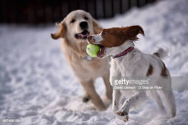 tennis in the snow - brittany spaniel stock pictures, royalty-free photos & images