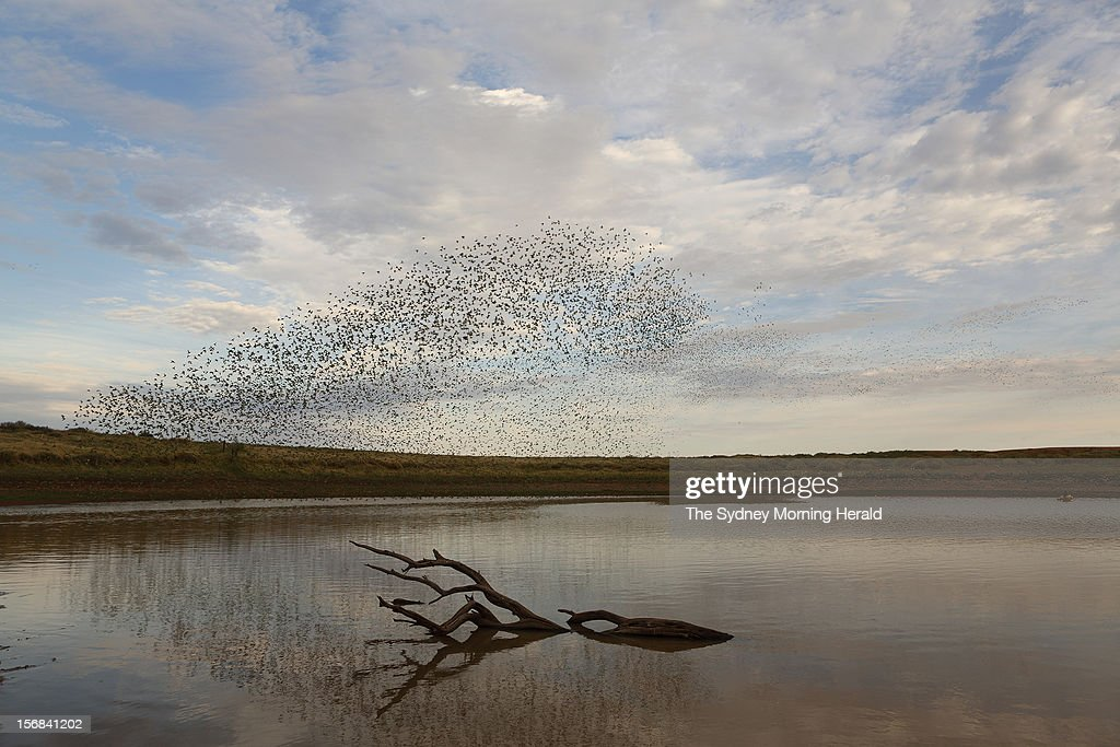 Tens of thousands of budgerigars gather around this isolated waterhole in Central Australia following seasons of plentiful rain, November 21, 2012.