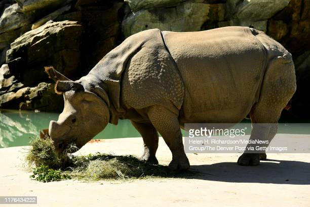 Tensing an 11 year old Greater OneHorned Rhinoceros munches on alfalfa and browsable branches while on view at the Denver Zoo's Elephant Passage on...