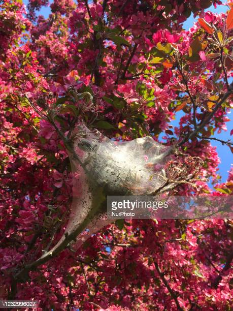 Tent caterpillar nest in a crabapple tree during the Spring season in Toronto, Ontario, Canada.