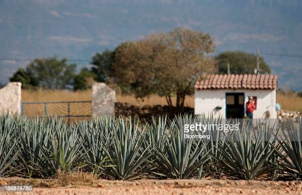 Tequila agave plants also known as blue agave grow in a field owned by Tequila Cuervo La Rojena SA de CV maker of Jose Cuervo in Guadalajara Mexico...