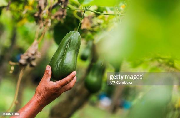 Terencio Flores checks a 'chayote' at the 'San Dionisio' farm where he grew coffee and now grows fruit and ornamental trees due to the loss of land...