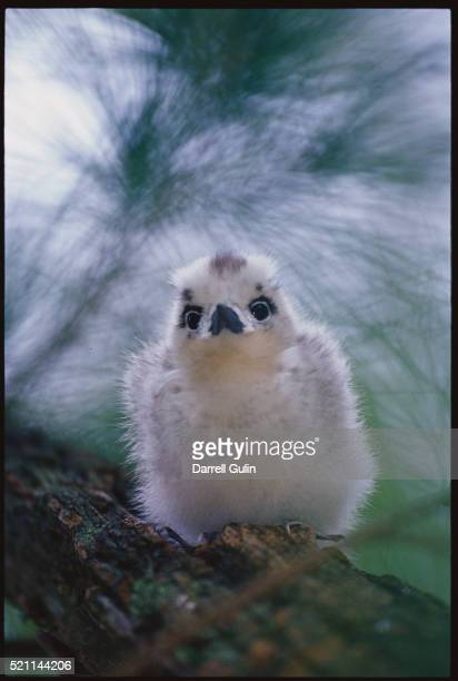 tern nestling on tree branch - midway atoll stock pictures, royalty-free photos & images