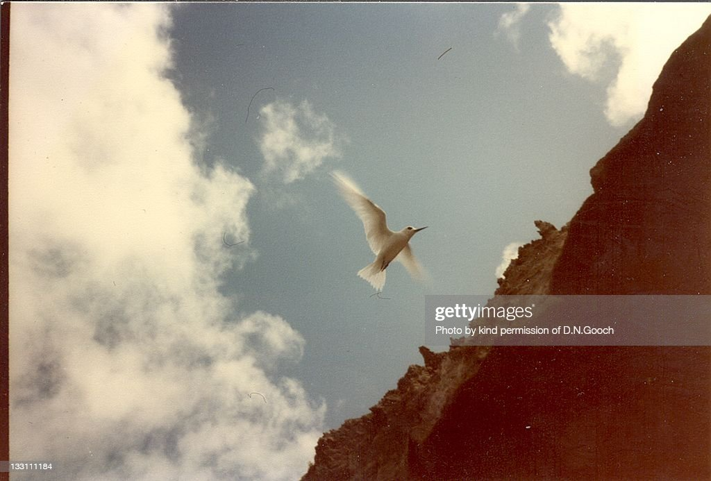 Tern overflying Georgetown on Ascention Island : Stock Photo