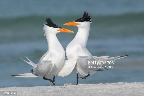 tern tango - royal tern stock photos and pictures