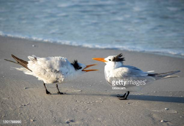 terns or seabird on beach squawking at other ignoring tern or seabird - meme stock pictures, royalty-free photos & images