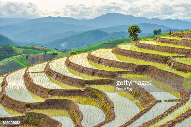Terrace Rice Field at Pa Bong Piang Hill Tribe Village in Rainy Season