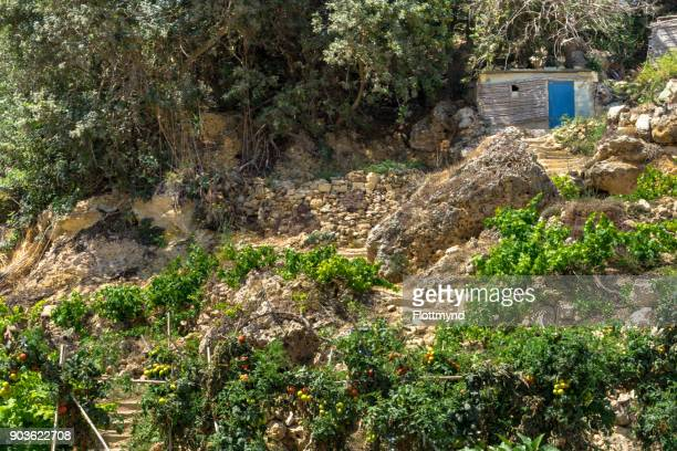 Terraced farming in Mgarr with all sorts of fruits waiting to harvested