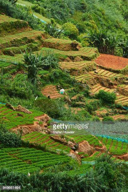 terraced fields, highland vegetable growing area, nuwara eliya, central province, sri lanka - lanka stock pictures, royalty-free photos & images