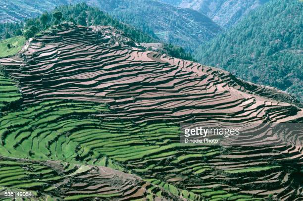 Terraced fields in the Himalayas, India.