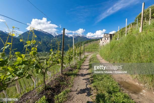 Terraced fields of vineyards, Valtellina, Lombardy, Italy