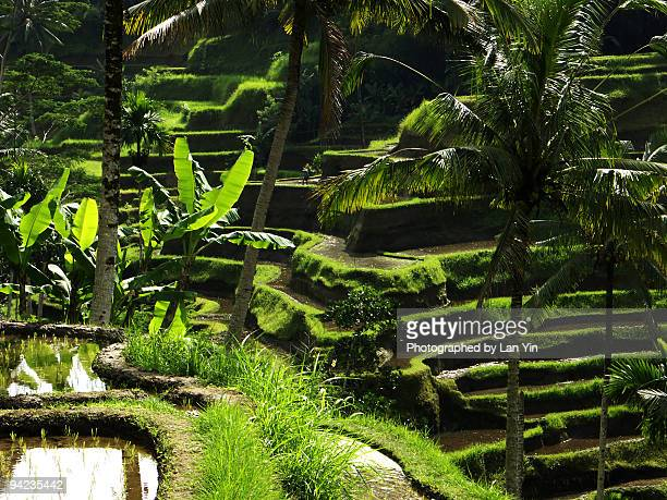 terraced fields - tegallalang stock photos and pictures