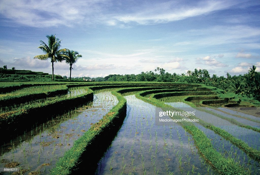 Terraced rice field filled with water, Bali, Indonesia : Stock Photo