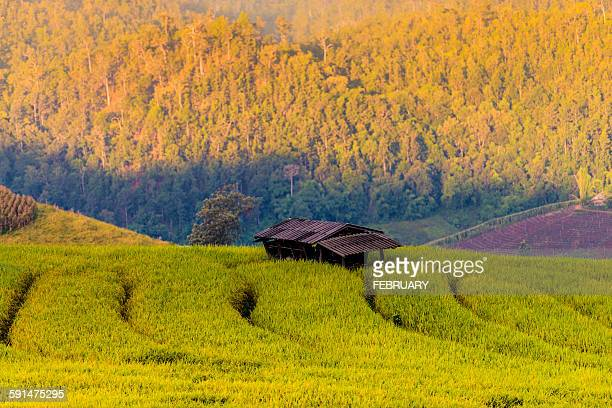 Terraced rice field in Chiang mai, Thailand