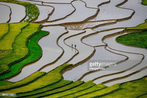 Terraced rice field in Mucangchai