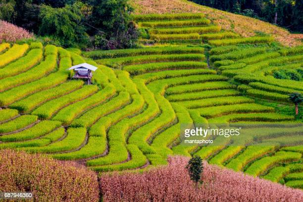terraced rice field - sapa stock pictures, royalty-free photos & images