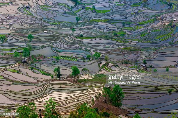 terraced rice paddy fields, yuanyang, china - yuanyang stock-fotos und bilder