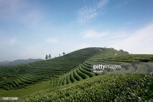 terraced tea fields on hillside,hangzhou,china - hangzhou stock pictures, royalty-free photos & images