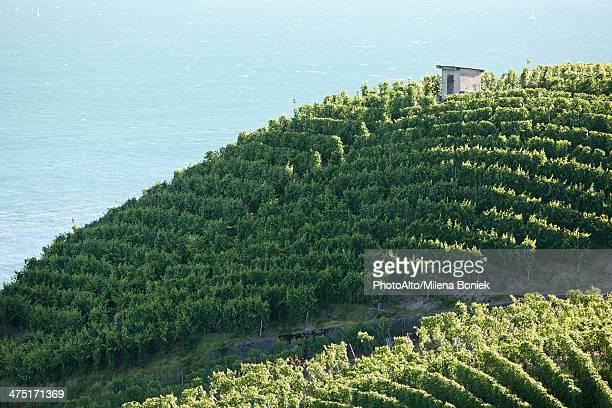 Terraced vineyard on hillside